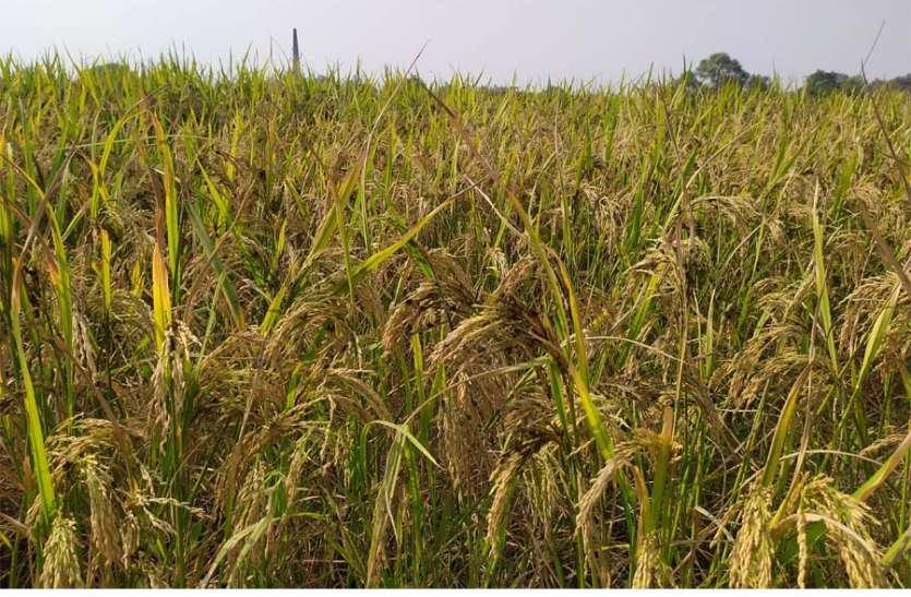 अगर फसल में लगा है कंडुआ रोग तो किसान करें यह उपाय बच जाएगी फसल