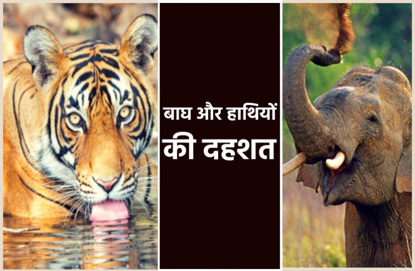 बाघ और जंगली हाथियों के हमलों से दहशत में हैं दर्जनों गांव, फसलें हो रहीं बर्बाद, जा चुकी है जान