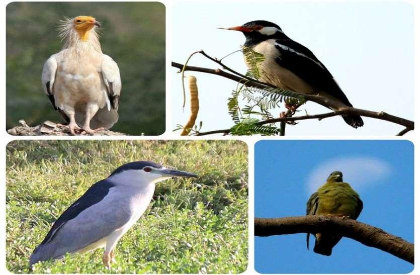 मारवाड़ में कुरजां के बाद शिकारी पक्षियों की दस्तक