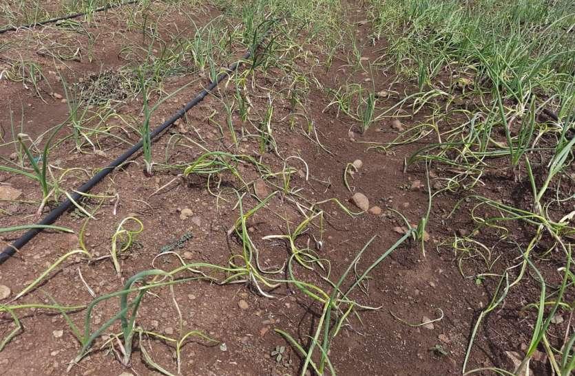किसानों ने फेंकी प्याज की उपज, भावों में आया उछाल