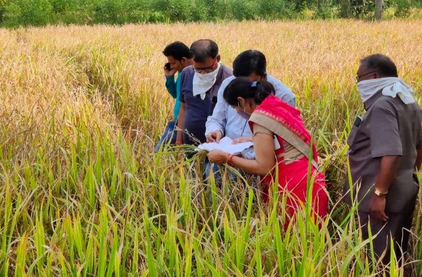 बालोद: बीज निगम से प्रमाणित बीज निकली नकली, किसान की 5 एकड़ फसल बर्बाद, जांच करने पहुंची 10 सदस्यीय टीम