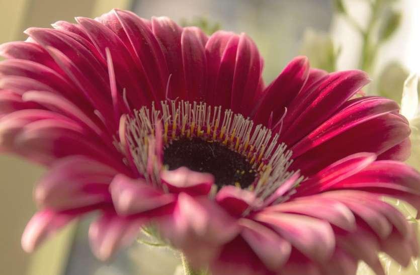 प्रदूषण से बचना चाहते हैं तो घर में लगाइये गुलदाउदी और जरबेरा के पौधे, ऑक्सीजन देने के साथ बनाएंगे शुद्ध हवा