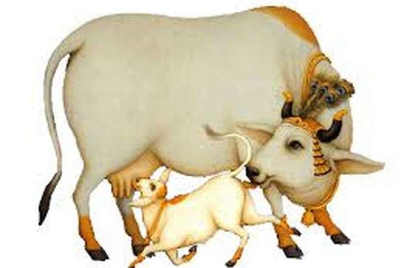 AKAL ABHIYAN: पहले चरण में गोशाला से लेंगे आठ लाख बिनदुधारु गाय