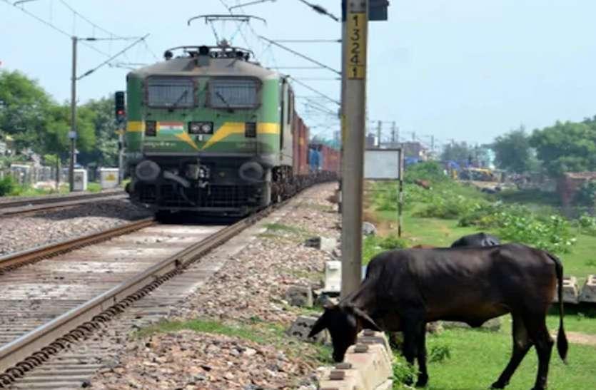 रेलवे के लिए मुसीबत बन रहे छुट्टा जानवर, रेलवे ट्रैक पर मवेशियों के कारण प्रभावित हो रहा ट्रेनों का संचालन