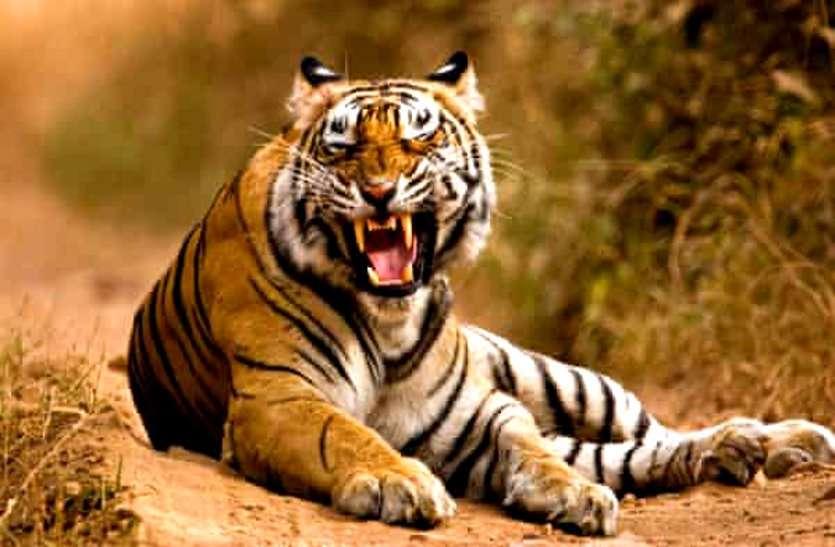 भोरमदेव अभयारण्य में बाघिन की संदिग्ध मौत से वन विभाग में हड़कंप, शिकार की आशंका, जांच में जुटा अमला