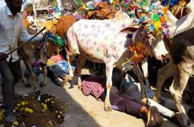 युवकों को सैकडों गायें रौदते हुए निकल गई लेकिन मुहं से नहीं निकला उफ..... (देखे वीडियो)