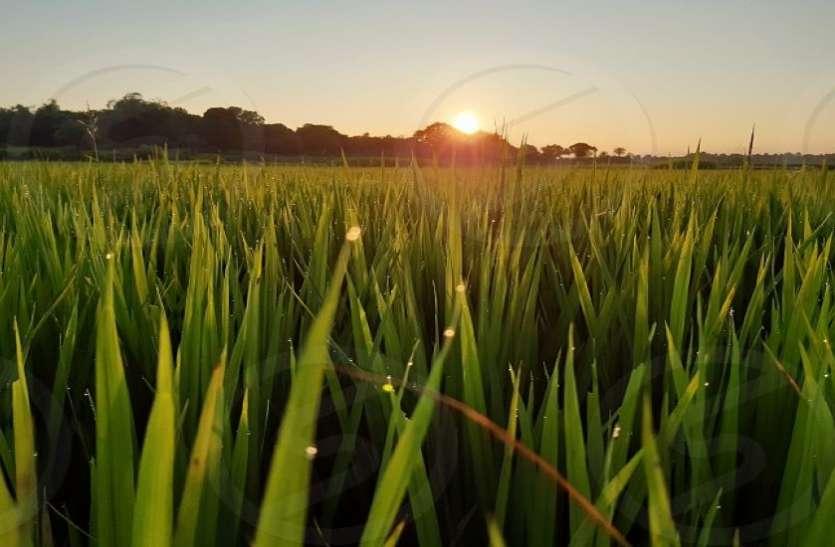 AGRICULTURE--जिले में 50 करोड़ मूल्य फसलों की सीधी खरीद हुई