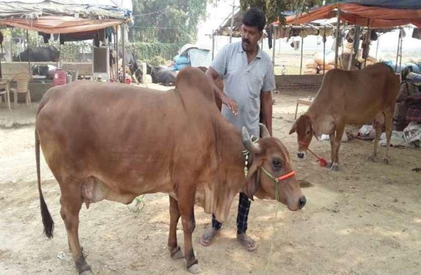 पशु मेले की शान बनी राजस्थान की गाय, डेढ़ लाख में बिकी एक भैंस