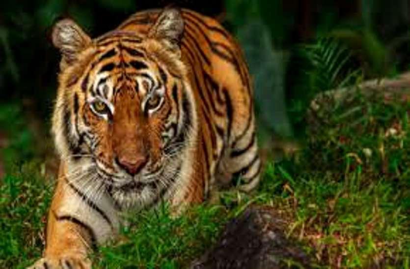 भोरमदेव अभयारण्य में राष्ट्रीय पशु बाघ की संदिग्ध मौत पर वन विभाग ने साधी चुप्पी, केंद्रीय जांच से किया किनारा