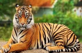 बाघों की आबादी दोगुनी करने के लिए पीलीभीत रिजर्व को मिला ग्लोबल अवार्ड, 4 साल में ही दुगनी तेजी से बढ़ी संख्या