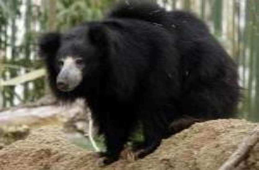 झलक दिखाकर फिर भाग गया भालू