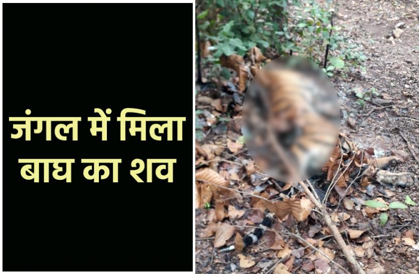 जंगल में मिला बाघ का शव : चारों और फैल रही थी दुर्गंध, ग्रामीणों ने दी वन विभाग को सूचना