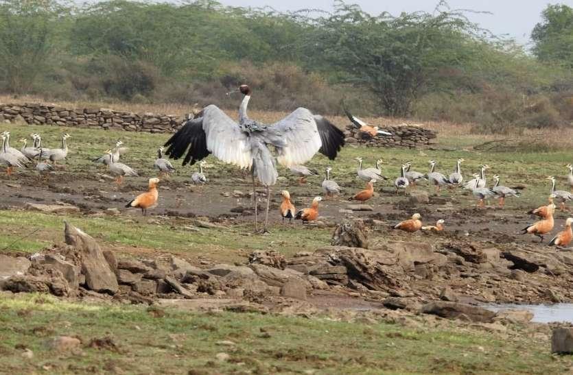 सर्दी के साथ बढ़ी विदेशी पक्षियों की तादाद, आबाद हुए बूंदी के जलाशय