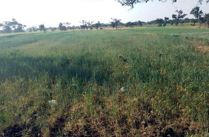 अघोषित बिजली कटौति से रबी फसले मुरझाई, किसानो में रोष