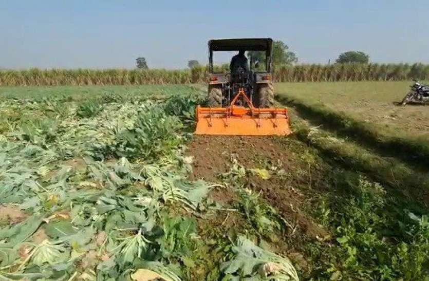 हाय मजबूरी : नहीं मिल रहे थे दाम किसानों ने खड़ी फसल पर चला दिया ट्रैक्टर