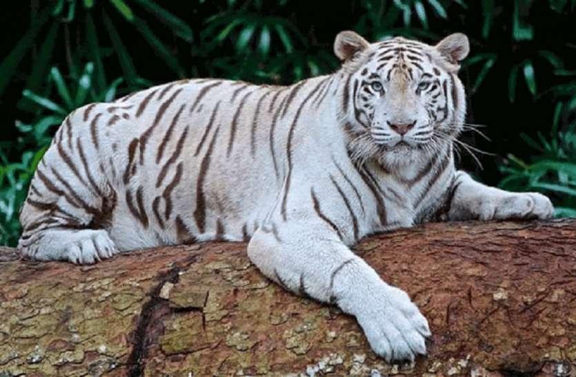 सात वर्षीय White Tiger की मौत