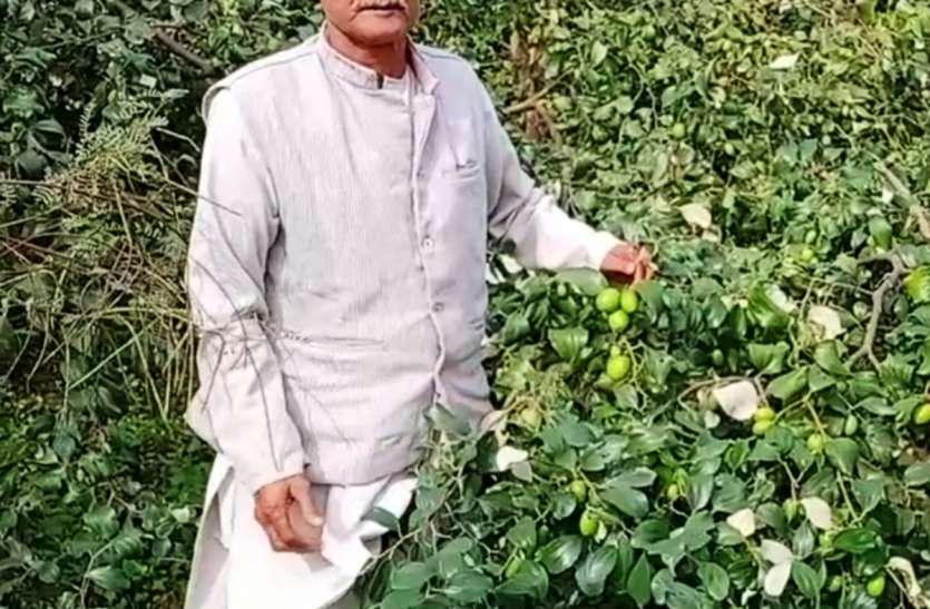 प्रगतिशील इस किसान ने जैविक तरीके से तैयार की थाई एपल बेर की फसल, हर साल कमाता है लाखों
