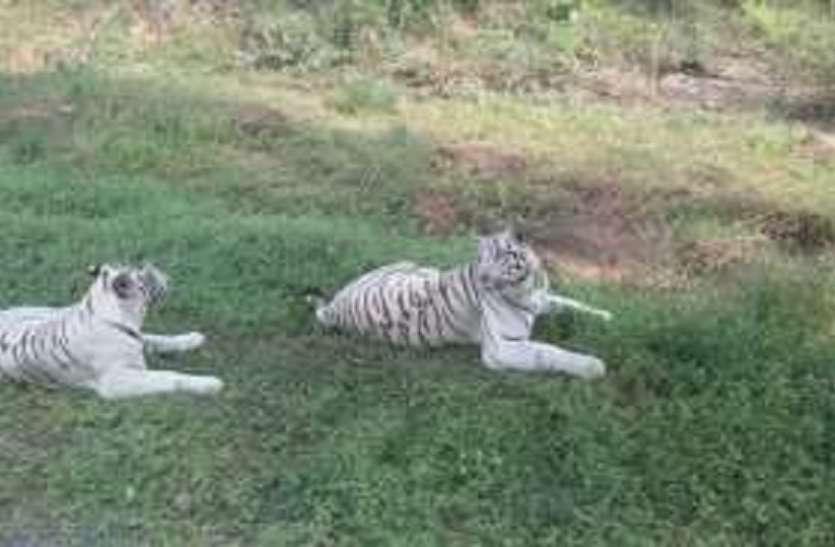 चिडिय़ाघर में घटते बाघों की संख्या ने बढ़ाई टेंशन, देशभर में की जाएगी मांग