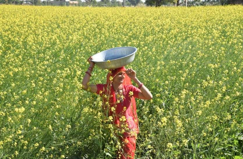 खेतों में लहलहाने लगी रायड़े की फसल