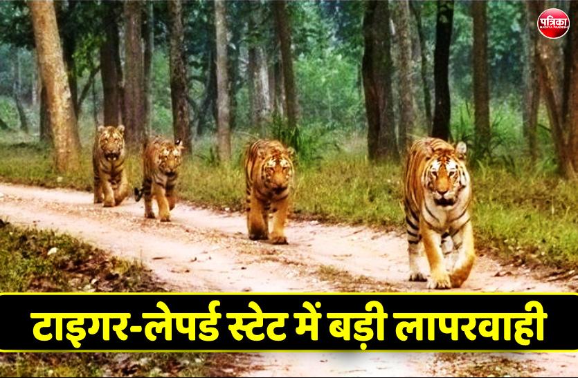 टाइगर-लेपर्ड स्टेट में बड़ी लापरवाही, 15 दिन में दो बाघ तोड़ चुके हैं दम