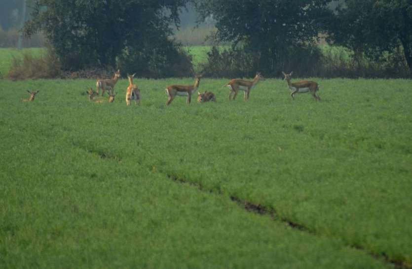 फसलों को नुकसान पहुंचा रहे हिरणों के झुंड, किसान परेशान