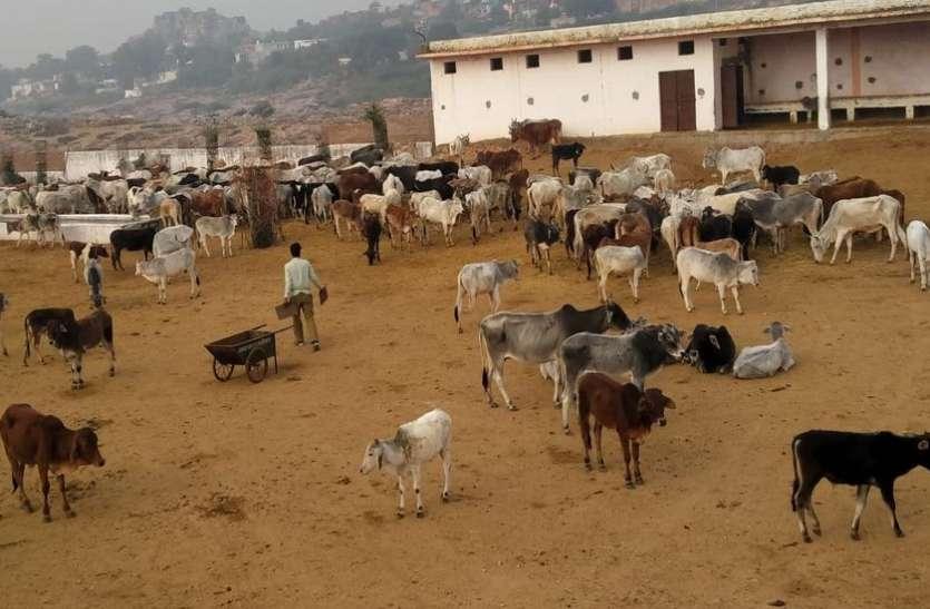 किसानों ने खेतों से लाकर गोशाला में जबरन घुसाए सैकड़ों मवेशी, बिगड़ी व्यवस्था, बछड़े की मौत