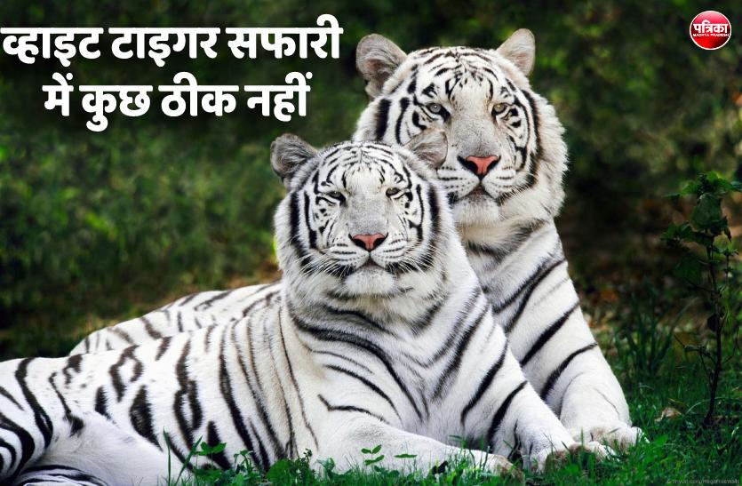 व्हाइट टाइगर सफारी में दो बाघ और एक तेंदुआ बीमार, दो की हो चुकी है मौत