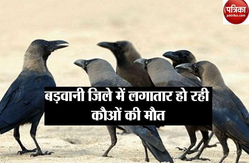 BIRD FLU: खरगोन जिले में बर्ड फ्लू की पुष्टि, अलर्ट हुआ बड़वानी जिला