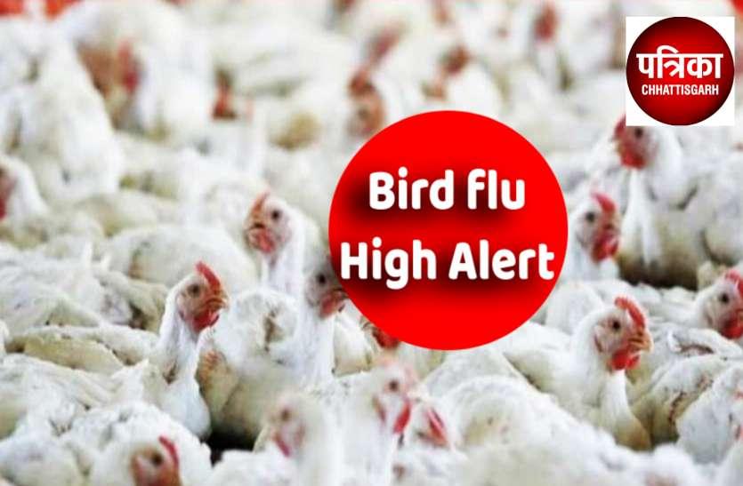 Bird Flu: बस्तर में मुर्गियां, कोरबा में कबूतर तो बालोद में 12 और कौवों की मौत