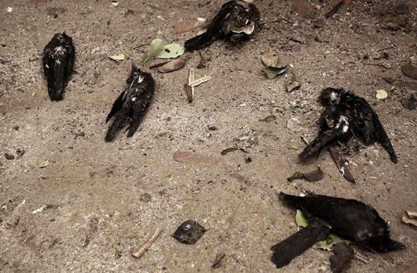 पूर्वांचल में पक्षियों की मौत बनी संदेह, आसमान से अचानक मर कर गिरने लगे कौवों की मौत से स्वास्थ्य महकमा अलर्ट, बर्ड फ्लू का भय