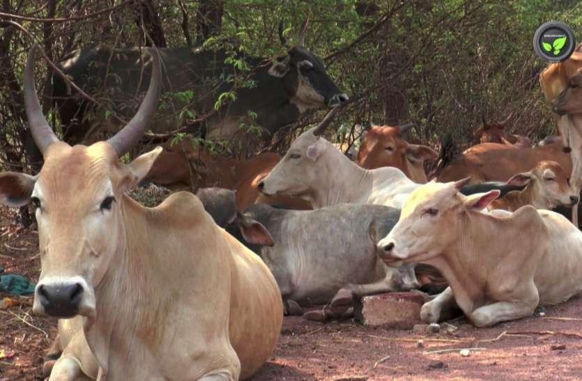 Nagaur patrika news. बर्ड फ्लू पर सरकार अलर्ट, चिकित्सा विभाग को सेंपल रिपोर्ट को इंतजार