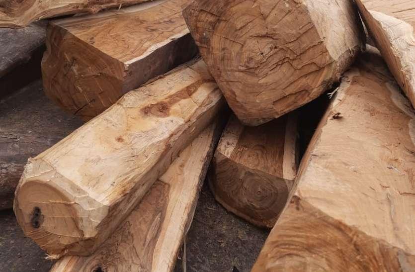लकड़ी चोरों ने 200 सागौन पेड़ काटे, भारी पथराव कर भागे