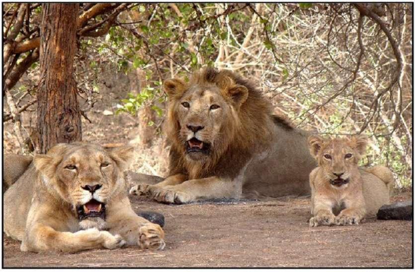 Ahmedabad  News : शेरों की तिकड़ी आजी डैम पहुंची, मवेशी का शिकार किया