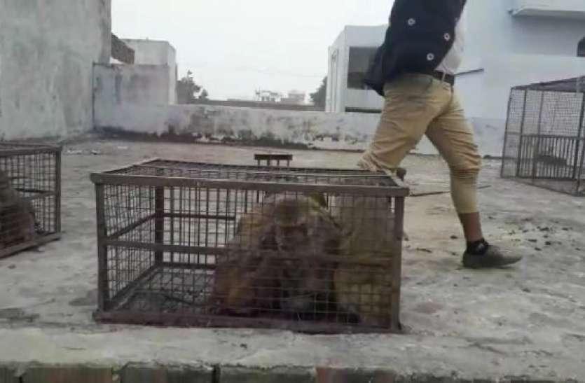 यूपी के इस शहर में लोगों को सता रहा बंदरों का डर