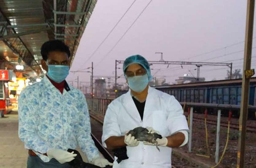 मुड़वारा रेलवे स्टेशन के प्लेटफार्म क्रमांक 4 में मृत मिला पक्षी, हड़कंप