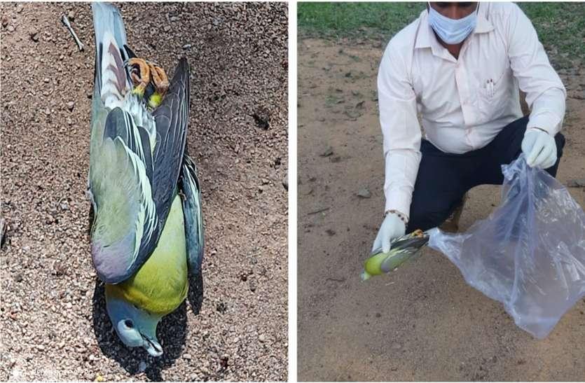 बर्ड फ्लू की दहशत के बीच मंदिर प्रांगण में मिला मृत कबूतर, कौआ भी मिला था मरा