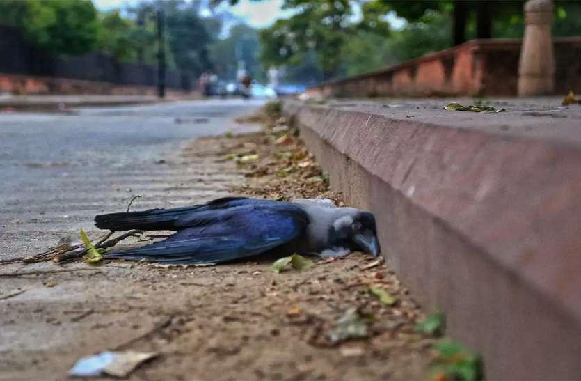 बर्ड फ्लू से मचा कोहराम,  मर रहे हैं हजारों पक्षी,  जानें इस वायरस से बचाव और इलाज