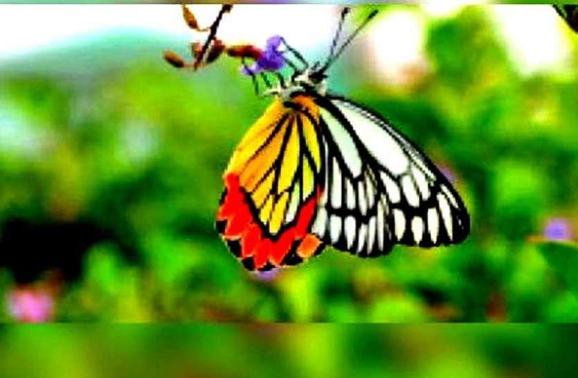 तितलियों की प्रजाति संरक्षित करने भोरमदेव में बनेगा बटरफ्लाई गार्डन