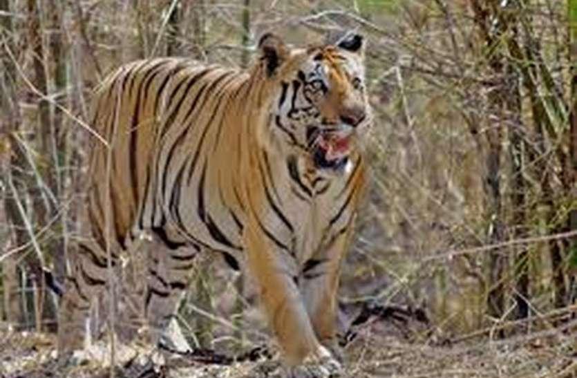 पश्चिम बंगाल वन विभाग रख रहा जंगल के राजा पर नजर