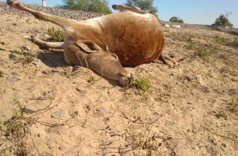 रेल की चपेट में आने से तीन गायों की हुई मौत