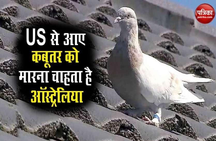US से उड़कर आए सफेद कबूतर की जान का दुश्मन बना ऑस्ट्रेलिया, सता रहा है इस बात का डर