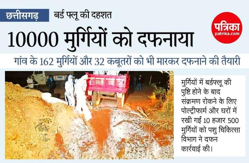 छत्तीसगढ़ में बर्ड फ्लू का कहर, बालोद के गिधाली में साढ़े 10 हजार मुर्गियों को मारकर दफनाया, सरकार देगी मुआवजा