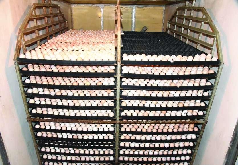 वैज्ञानिक पद्धति से हैचिंग कर यहां से 3 जिलों को हो रही चूजों की सप्लाई, प्रतिदिन 1500 अंडों का उत्पादन