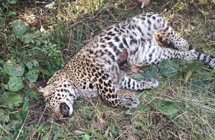 शिकार या वर्चस्व की लड़ाई, दो तेंदुए की मौत