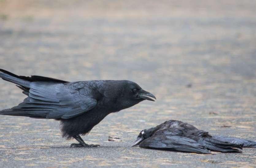 पक्षियों के मृत मिलने का सिलसिला जारी