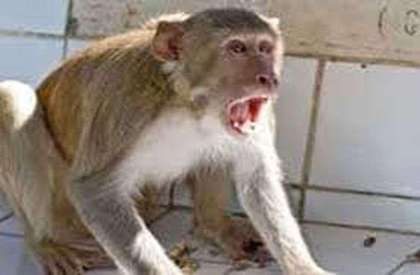 monkey attack - एक बंदर पकडऩे में नाकाम वन विभाग