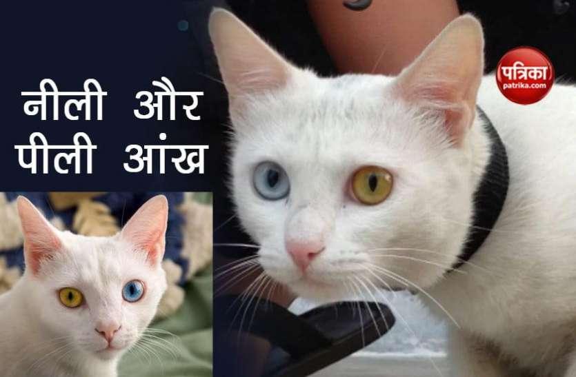 दुर्लभ प्रजाति की बिल्ली, एक आंख नीली और दूसरी पीली, कीमत जानकर चौंक जाएंगे