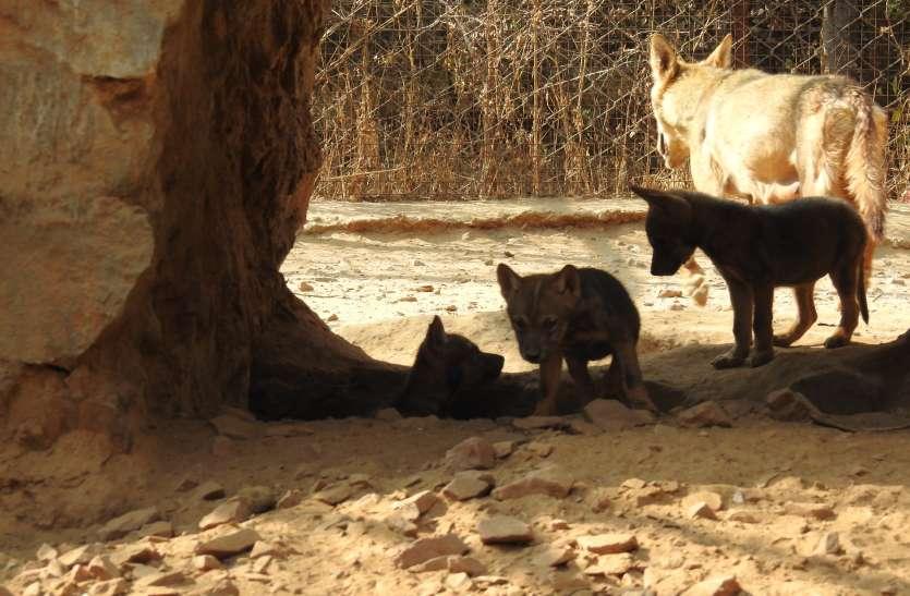 Nahargarh Bio park : दो वुल्फ के जोड़े से 10 नए वुल्फ शावकों का हुआ जन्म