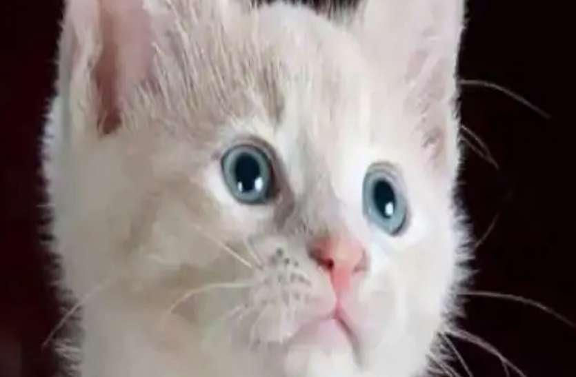 बिल्लियों का शौक खतरनाक, जा सकती है आंखों की रोशनी
