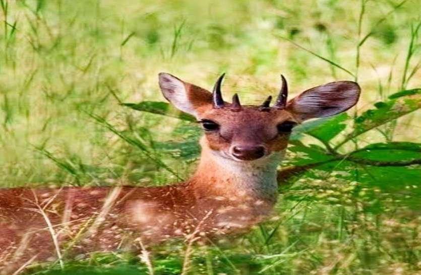 Surat/ फूड चेन बनाए रखने के लिए वांसदा नेशनल पार्क में छोड़े गए चौसिंगा हिरण